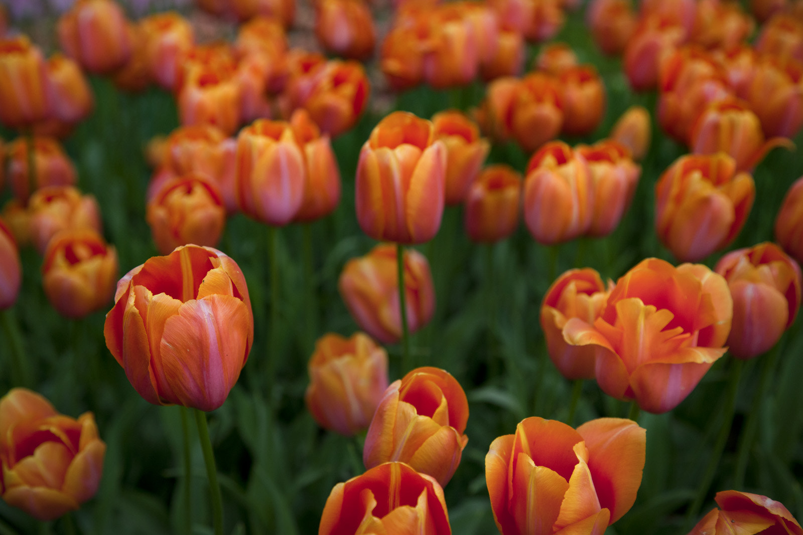 Photograph Tulips by Eddie Gianelloni on 500px