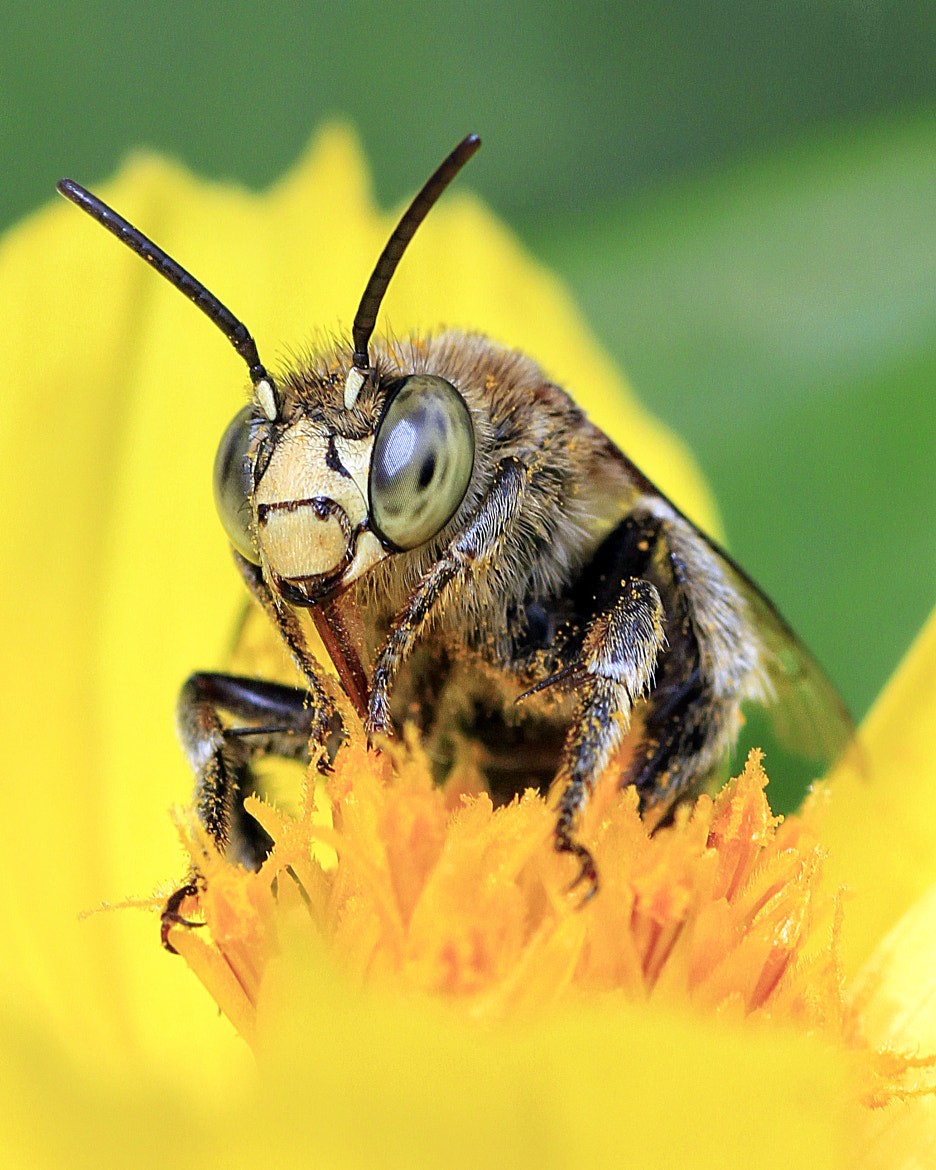 Photograph Mighty Bee by Alex Mempin on 500px