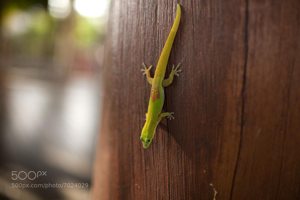 Photograph Hawaiian Lizard by Eddie Gianelloni on 500px