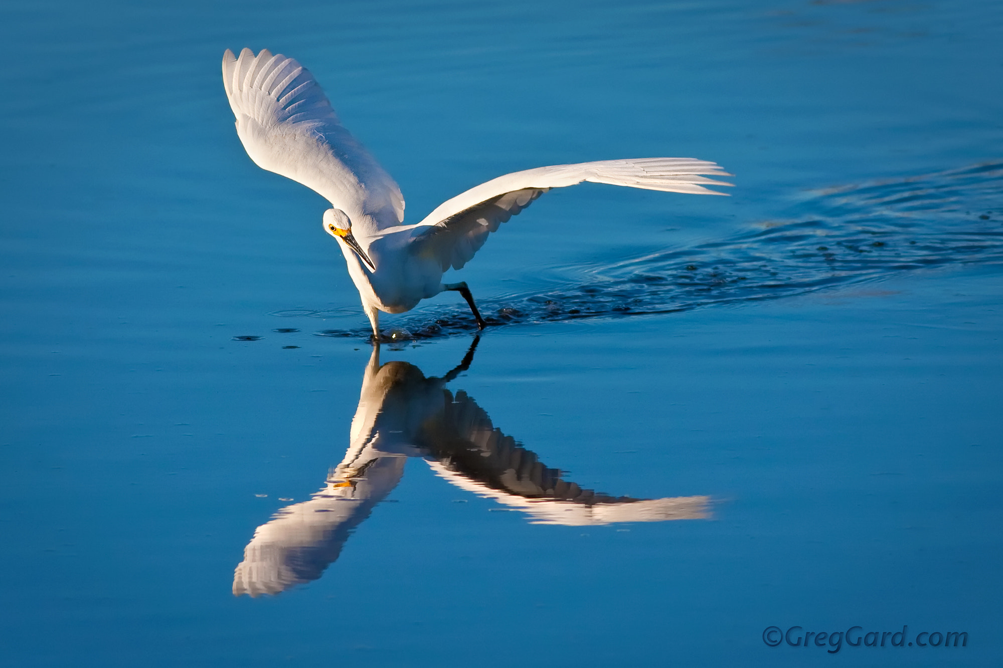Photograph Chasing Fish - Snowy Egret by Greg Gard on 500px