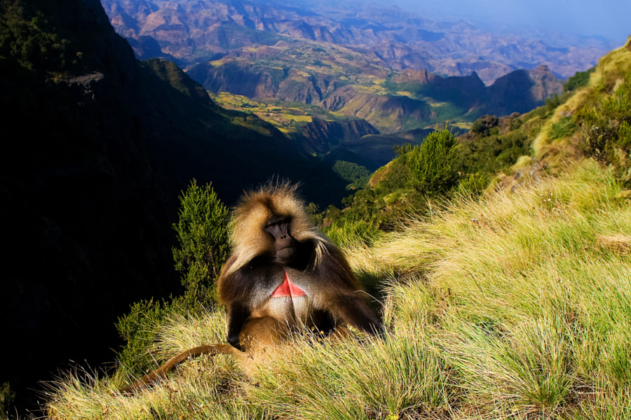 Photograph Gelada baboon sitting on top of the cliff in the Semien mountains by Domen Grögl on 500px