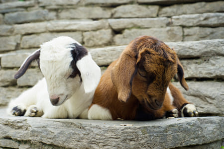 Sleepy baby goats