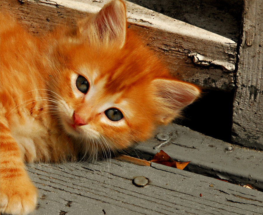 Orange Kitten in Texas