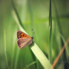 Постер, плакат: Small Copper Lyc