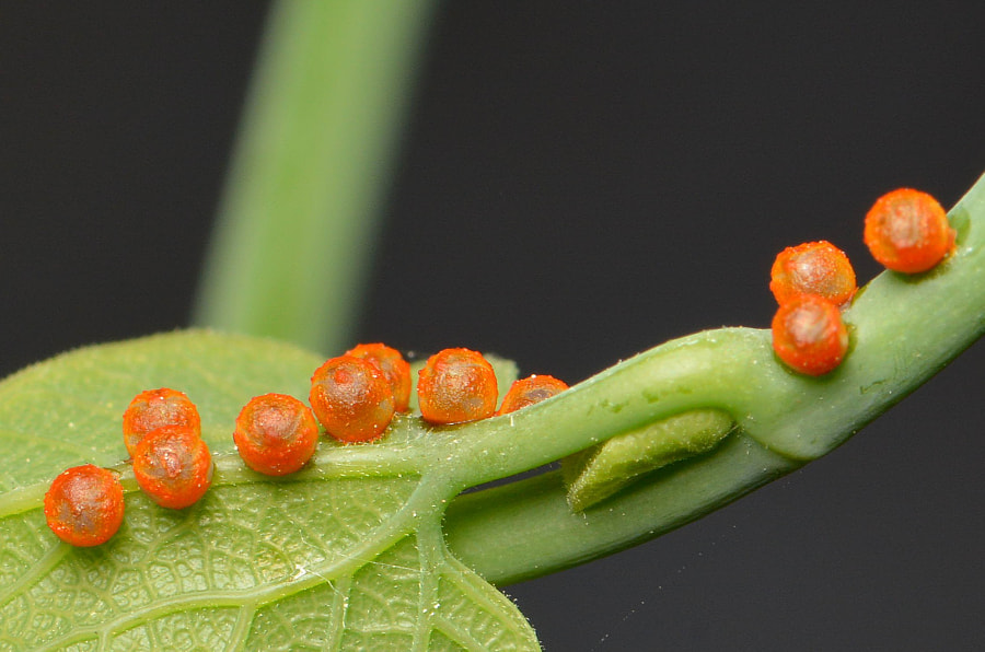 Photograph Pipevine Swallowtail Butterfly Eggs by Douglass Moody on 500px