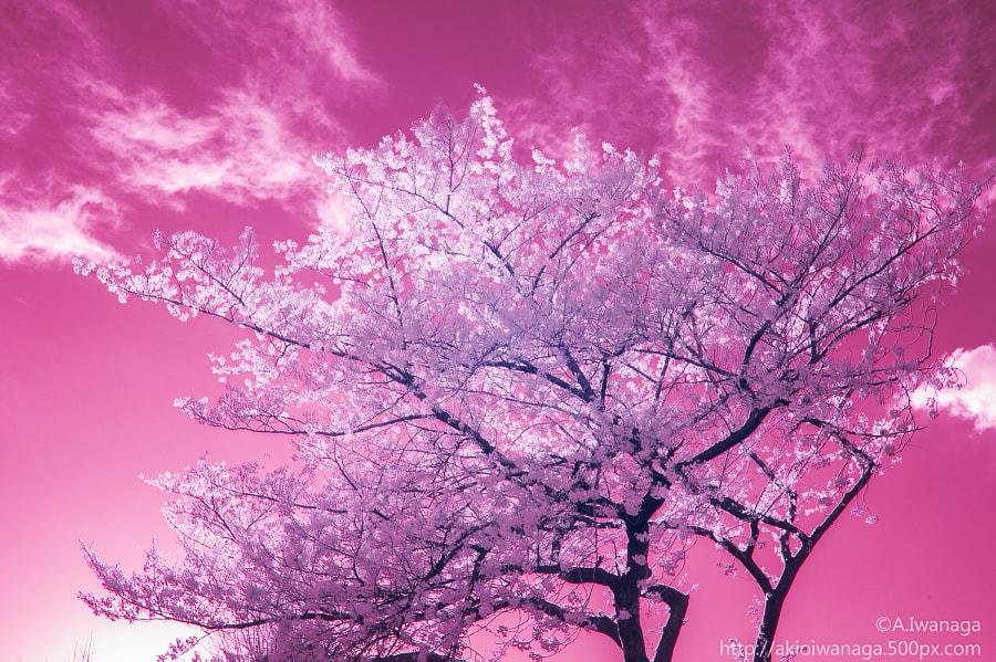 桜(IR)