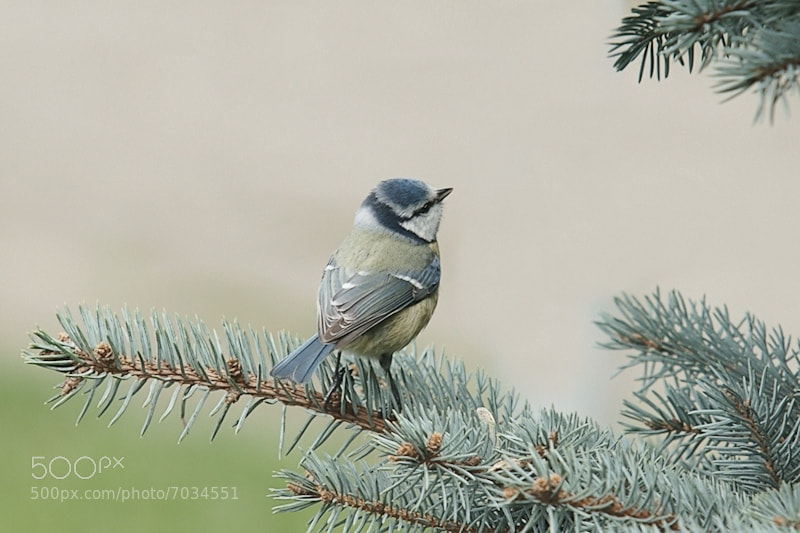 Photograph Blue tit by Geertje Weustenenk on 500px