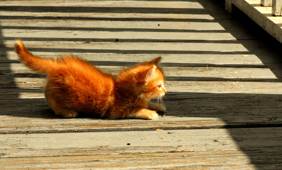 Kitten on a Bridge
