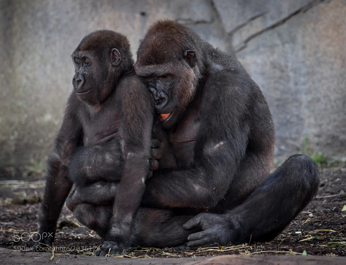 Photograph Gorillas  by Peter Craig on 500px