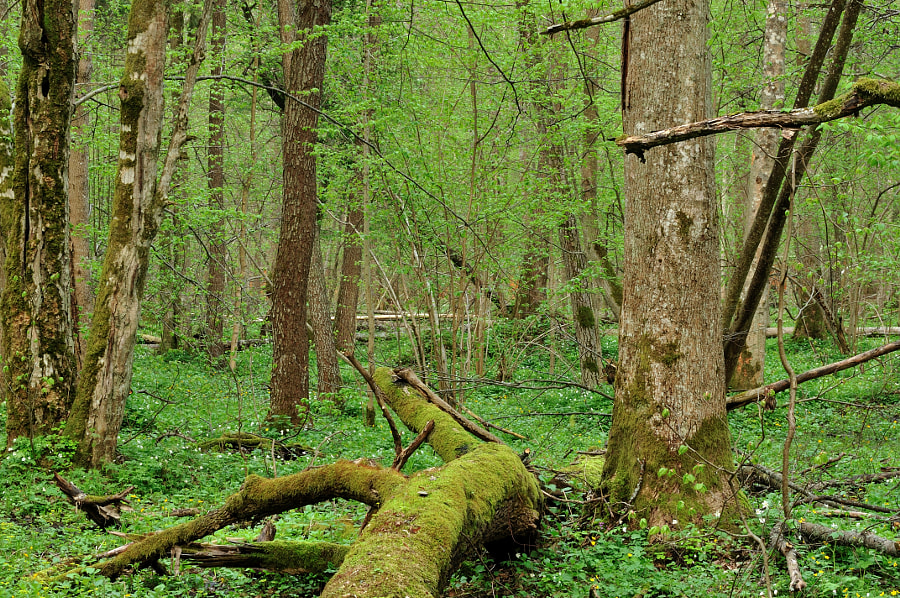 Natural forest / Bialowieza forest (Poland)