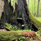 Vieil arbre mort recouvert de champignons lignicoles.