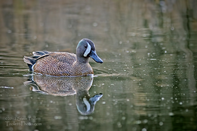 Photograph Blue-winged Teal / Sarcelle à ailes bleues by Steve Troletti on 500px