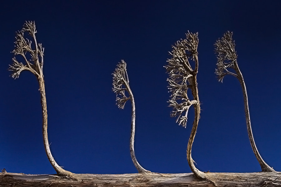 Photograph Alien Trees by Peter Daalder on 500px