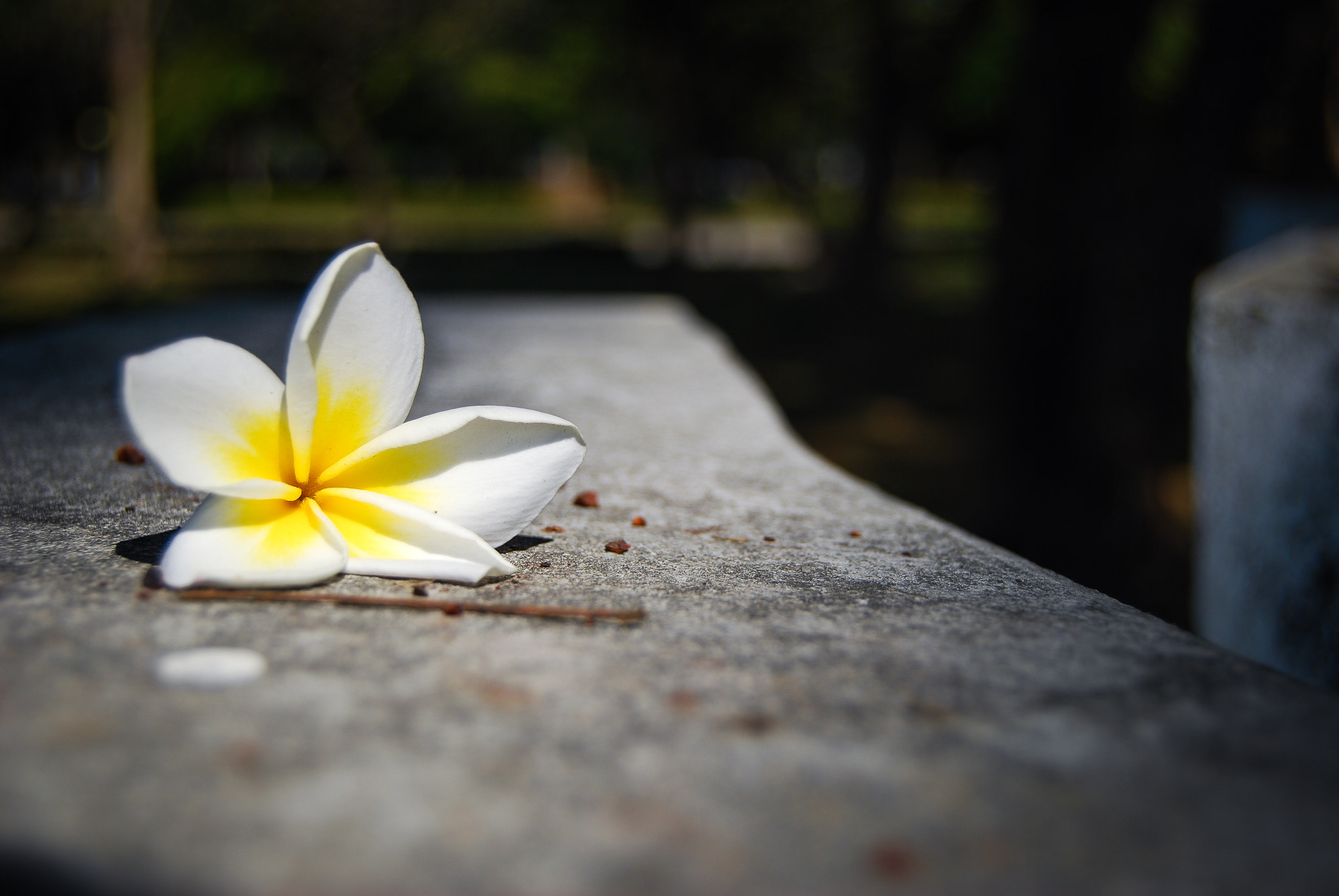 Photograph White Plumeria by Charlie Bu on 500px