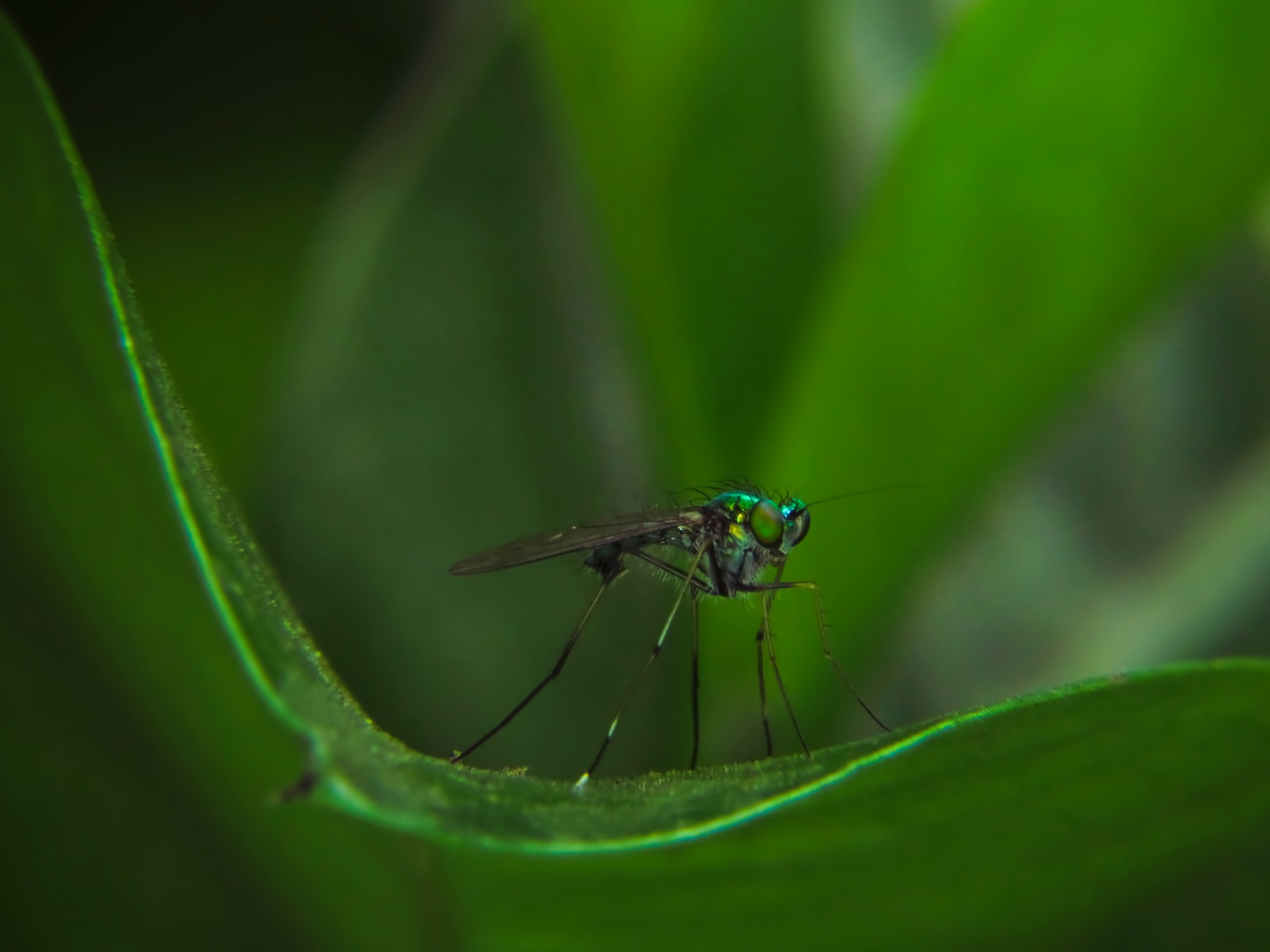 Photograph Long legged fly by Nozer Kasad on 500px