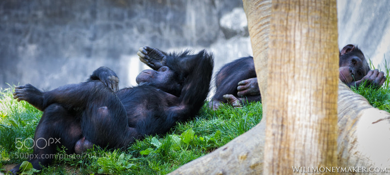Photograph Chimpanzee Troops by Will Moneymaker on 500px
