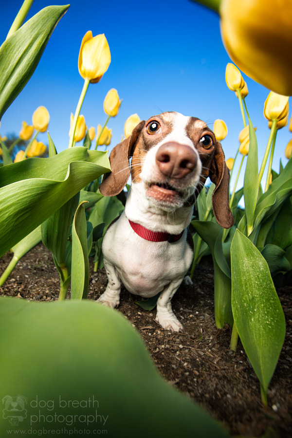 Tulip Sniffer by Kaylee Greer on 500px.com