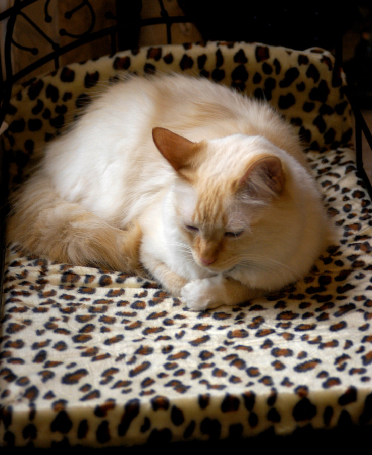 Cat on a Leopard Bed
