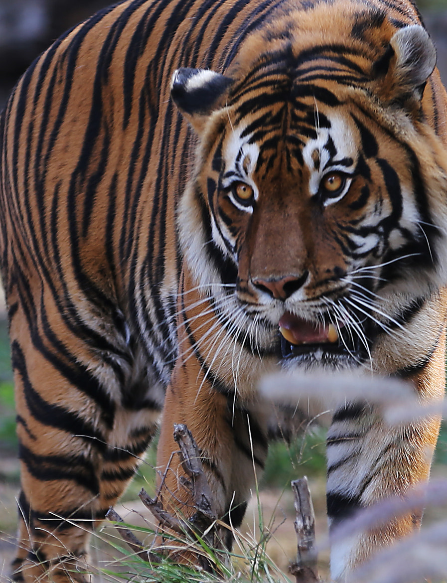 Photograph The Eye of the Tiger by Pieter Oosthuysen on 500px