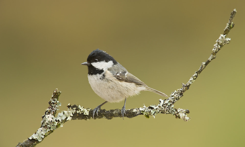 Photograph Coal Tit by Geoffrey Baker on 500px
