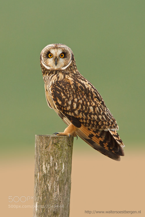 Photograph Short-eared Owl by Walter Soestbergen on 500px