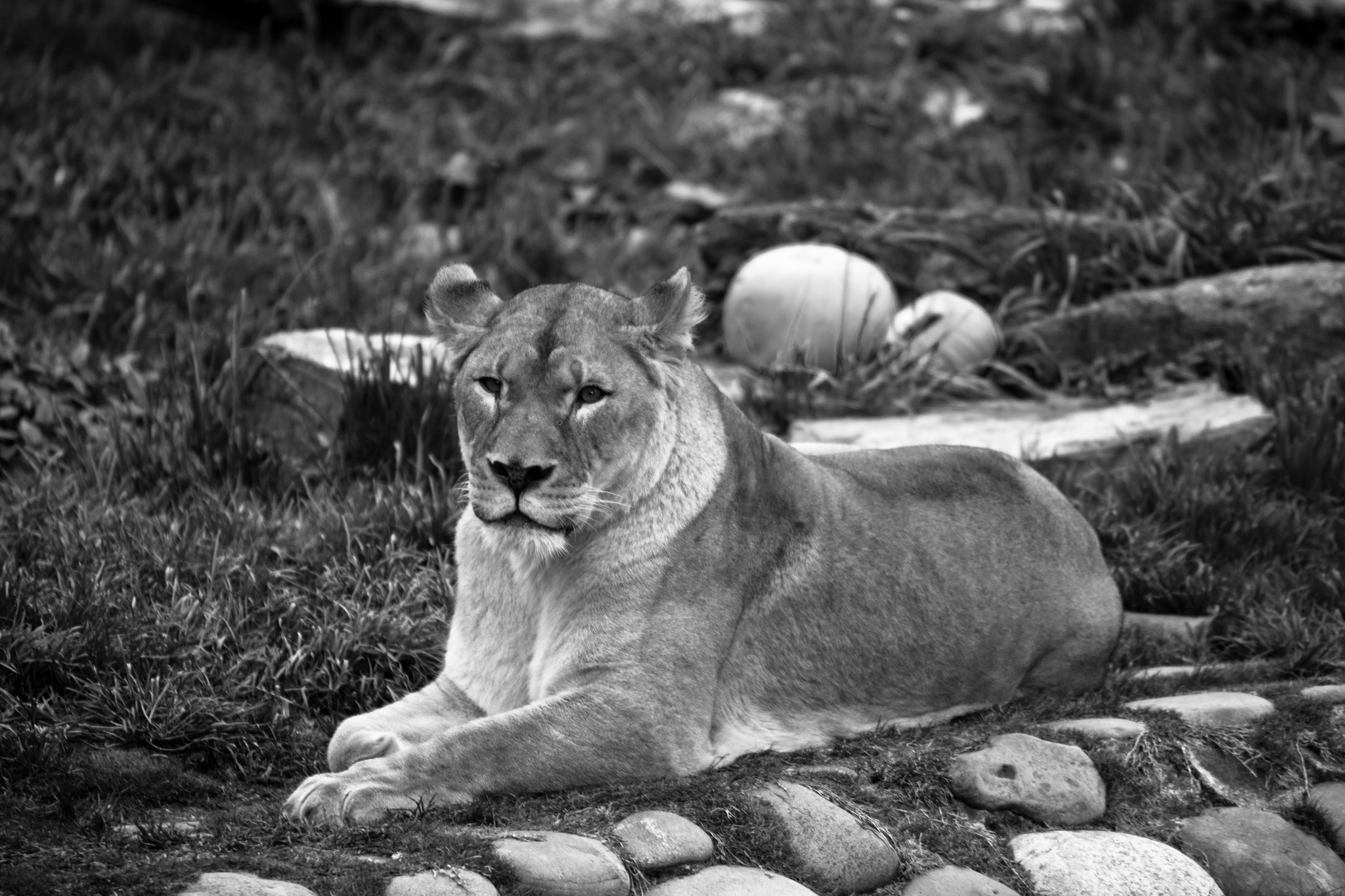 Photograph Relaxing Lion - 04/27/12 by Jaime Wojick on 500px