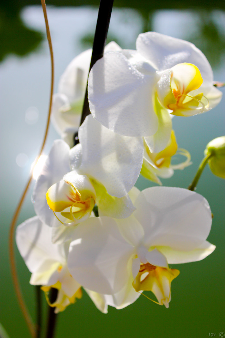 Photograph White Orchid by IAN C. on 500px