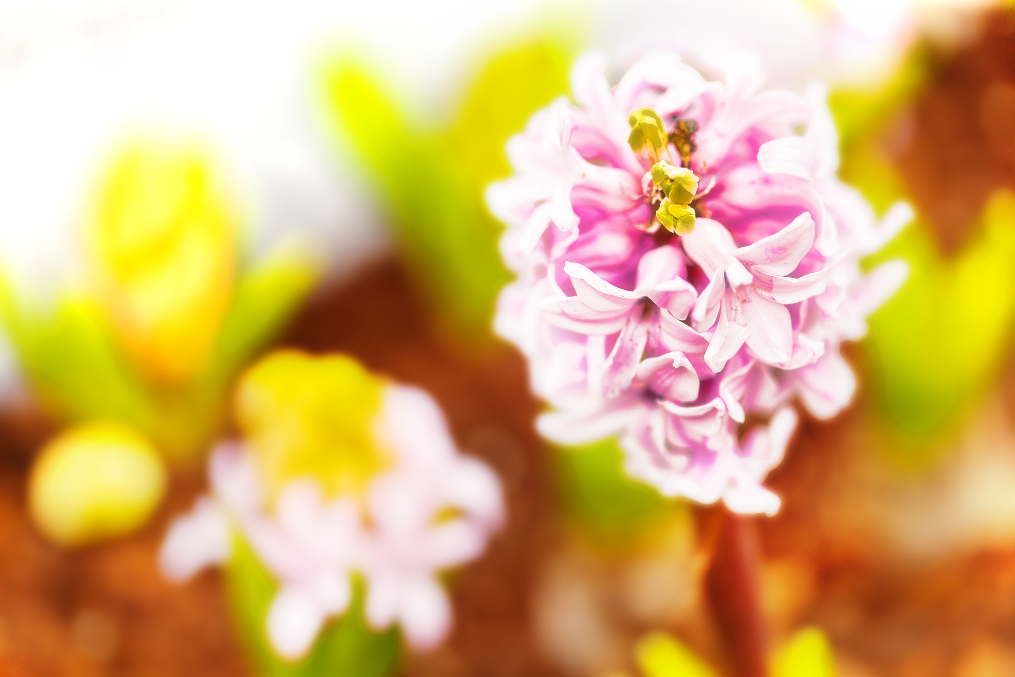 Photograph This Flower is called Hyacinthus(風信子). My first time to seriously take photo of her, not quite satis by Gavin Wong on 500px