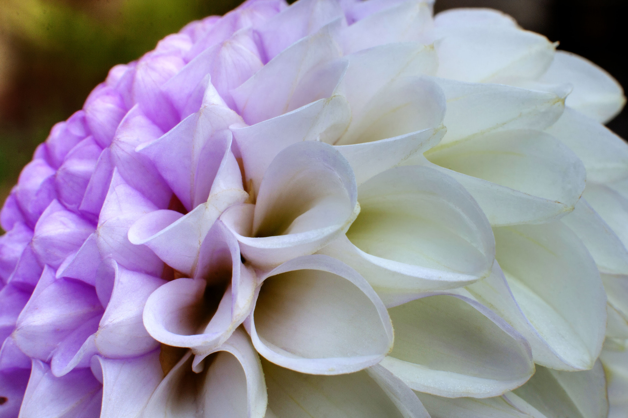 Photograph Lilac & White Dahlia by Anoup Puri on 500px