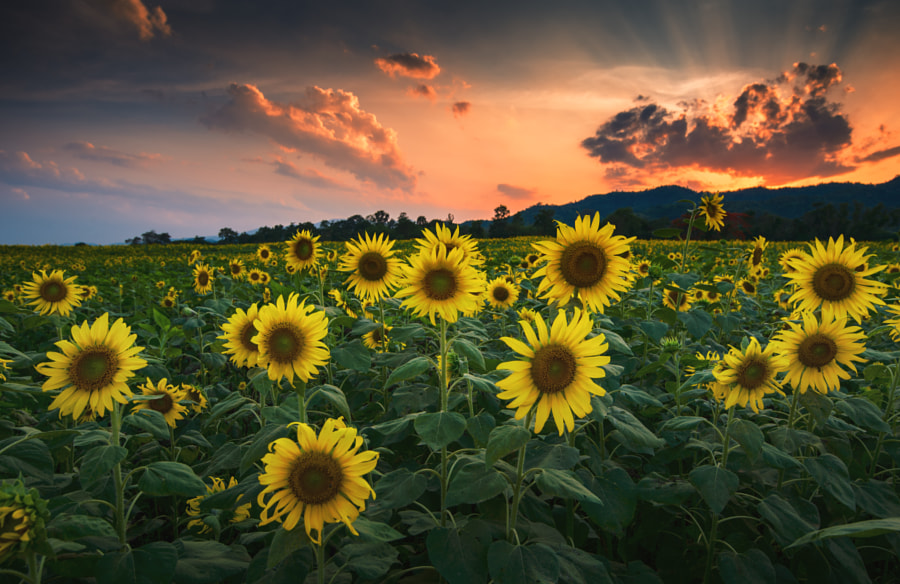 Sunflower Garden by Chanawit Sitthisombat on 500px.com