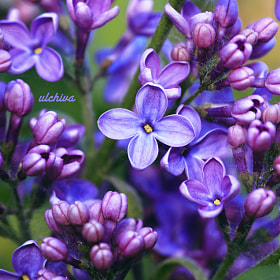 lilac by Julia Iva (ulchiva) on 500px.com