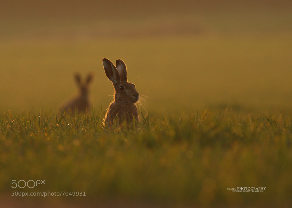 Photograph Hare at Sunset by stephendurrant on 500px
