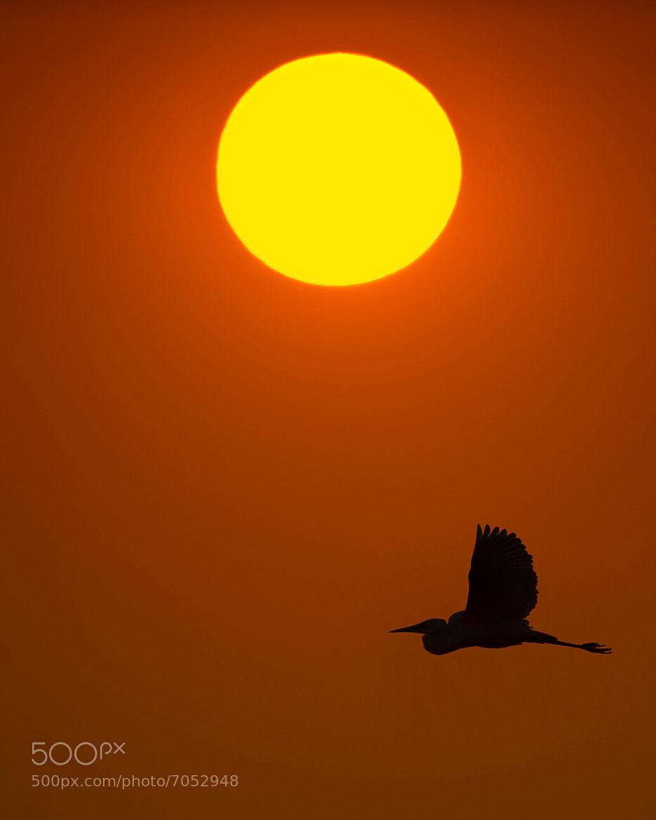 Photograph Heron sunset by Marc MOL on 500px