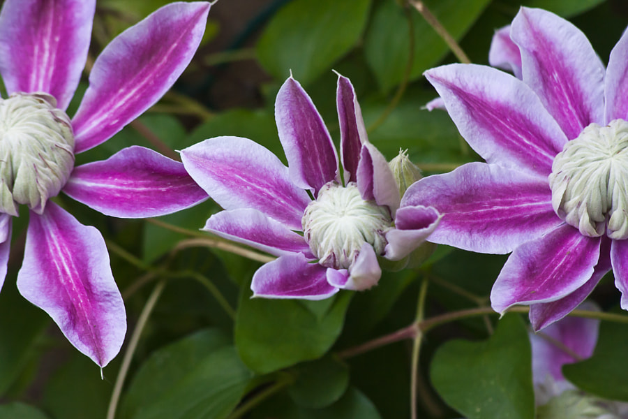 Number 135 - the clematis opens and produces hundreds off large but fragile flowers - these three remind me of the Mikado - from school are we (well a nursery anyway)  Life goes on