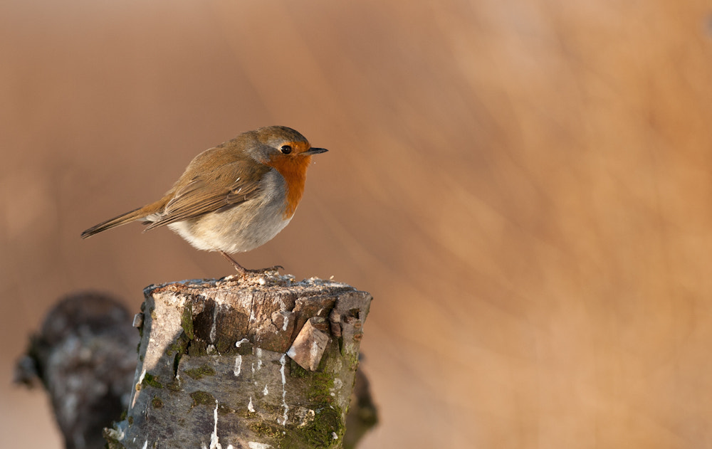 Photograph Robin by Kirk Norbury on 500px