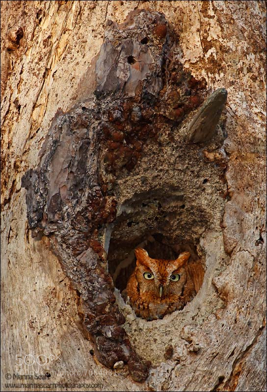 Photograph Peek-a-Boo Screech Owl by Marina Scarr on 500px