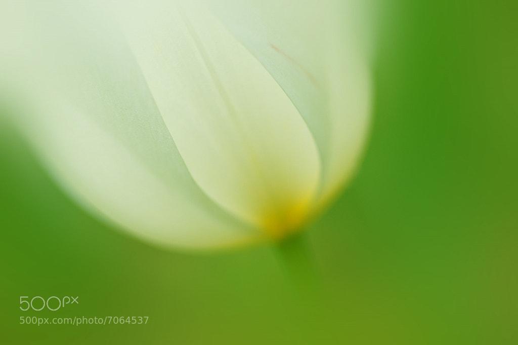 Photograph Tulipa gesneriana by S. Kobayashi on 500px