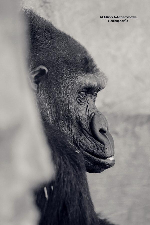 Perfil gorila