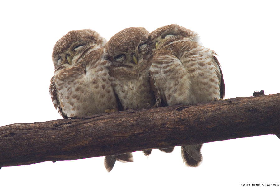Photograph Spotted Owlettes: The Cuddlers by Camera Speaks by Sunny Oberoi on 500px