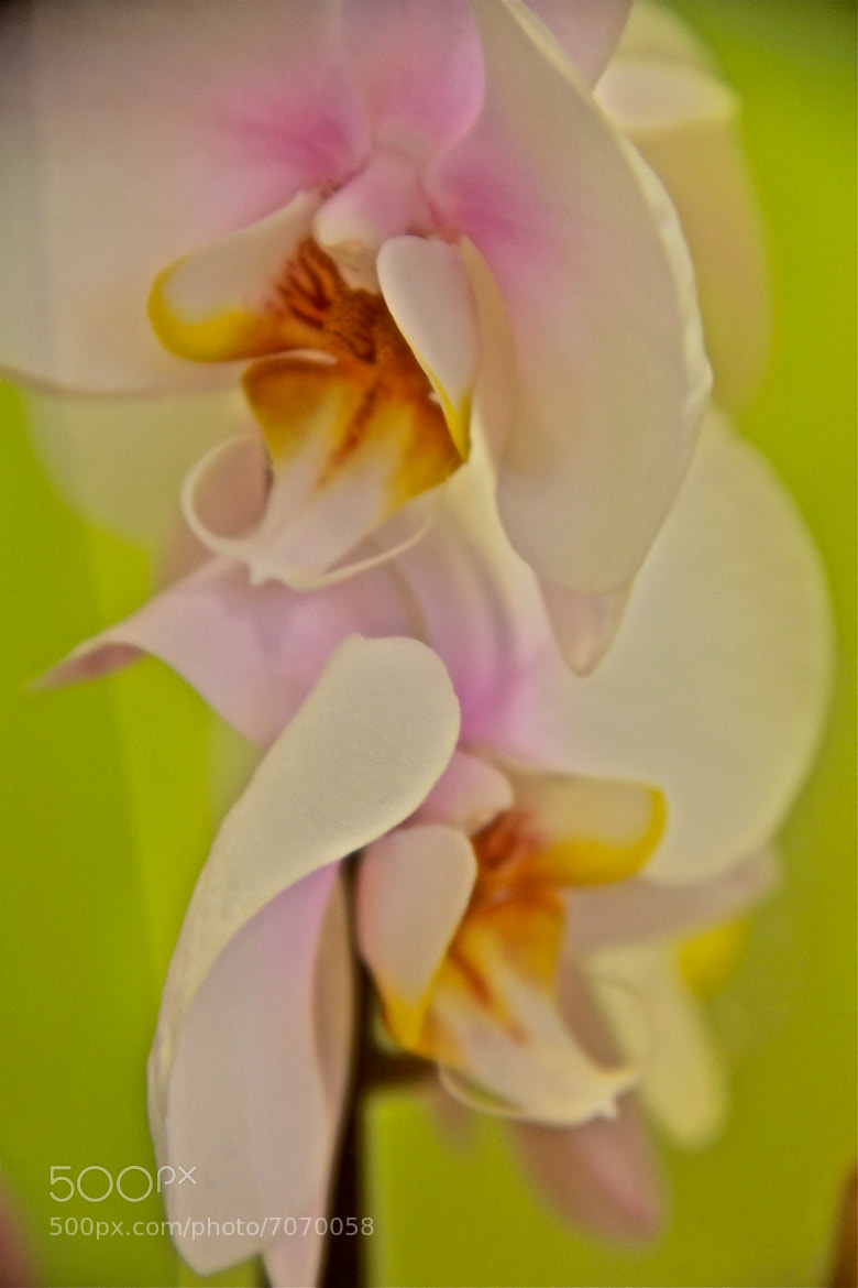 Photograph Orchid by Poh Huay Suen on 500px