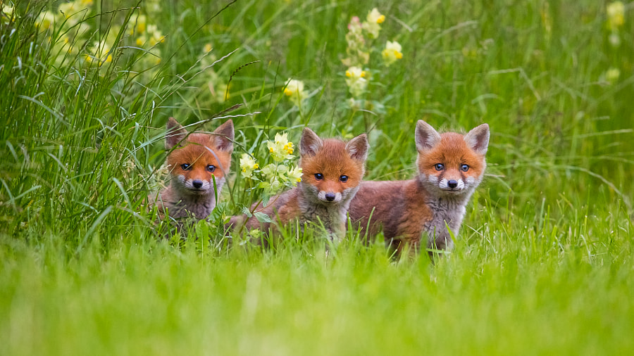 Photograph Fox Juniors by Peter Grischott on 500px