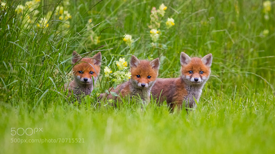 Photograph Fox Juniors by Grischott Peter on 500px