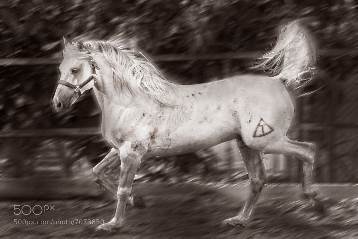 Photograph Caballo Arabe  by juan  rodrigo legua on 500px