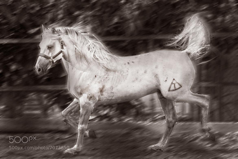 Photograph Caballo Arabe  by juan  rodrigo legua on 500px