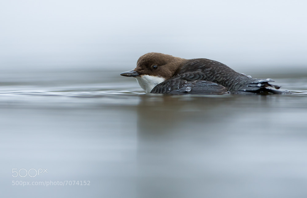 Photograph White-throated Dipper by Geir  Jensen on 500px