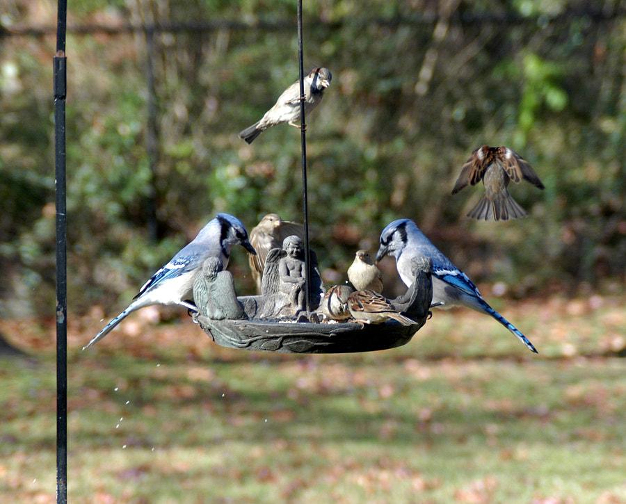 Dueling Blue Jays