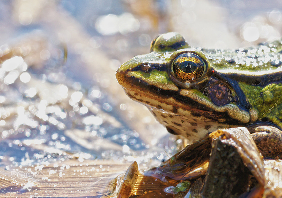 Photograph frog by Rafał Ziółek on 500px