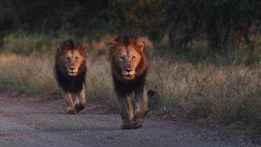 Lions in Kruger Park!