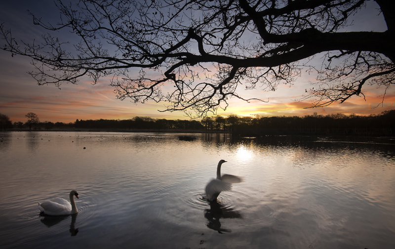 Photograph Swans at sunrise by Ian Rolfe on 500px