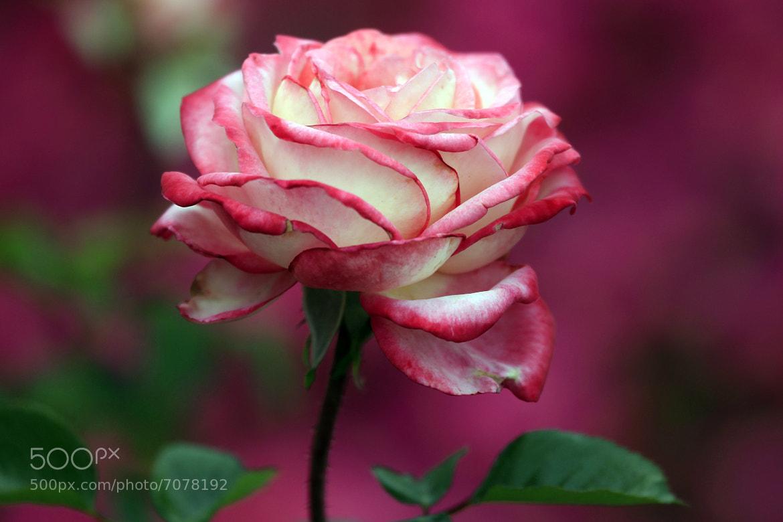 Photograph April rose by Cristobal Garciaferro Rubio on 500px